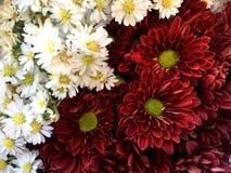 Witte en karmozijnrode snijdersbloem/aster ericoides bloem stock afbeelding
