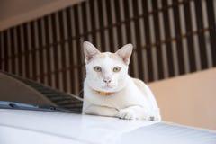 Witte en oranje kat met oranje kraag die dageraad op de auto leggen de kat is een klein geacclimatiseerd vleesetend zoogdier met  stock foto