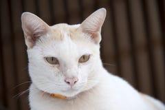 Witte en oranje kat met oranje kraag op bruine kleur als achtergrond de kat is een klein geacclimatiseerd vleesetend zoogdier met royalty-vrije stock afbeelding