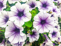 Witte en purpere bloemen stock afbeeldingen