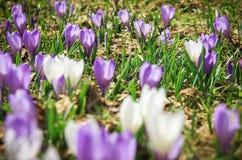 Witte en purpere krokusbloemen stock foto