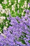 Witte en purpere lavendelbloemen Stock Afbeeldingen