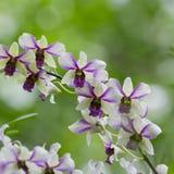 Witte en Purpere Orchidee Stock Foto