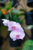 Witte en purpere orchideebloem Stock Foto's