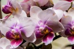 Witte en Purpere Phalaenopsis Royalty-vrije Stock Foto