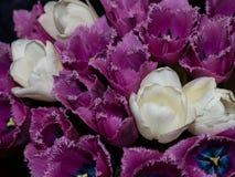 Witte en purpere tulpen Stock Foto's