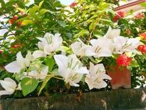 Witte en rode bloemen stock fotografie