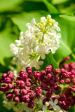 Witte en rode jasmijn Royalty-vrije Stock Foto