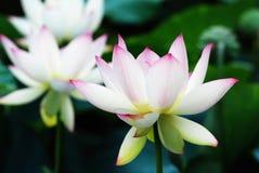 Witte en rode lotusbloembloem royalty-vrije stock foto