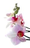 Witte en rode phalaenopsis Royalty-vrije Stock Foto