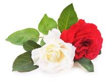 Witte en rode rozen Stock Foto