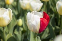 Witte en rode tulp Stock Foto