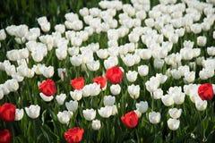 Witte en rode tulpen royalty-vrije stock fotografie