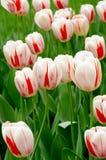 Witte en rode tulpen Stock Afbeelding