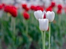 Witte en rode tulpen Stock Afbeeldingen