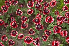 Witte en rode tulpen op textuurachtergrond stock afbeeldingen