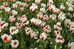 Witte en rode tulpen royalty-vrije stock foto's