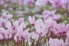 Witte en roze bloem Royalty-vrije Stock Foto