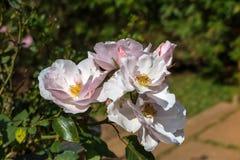 Witte en roze bloem in de tuin Stock Fotografie