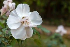 Witte en roze bloem in de tuin Royalty-vrije Stock Afbeelding