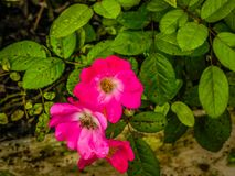 Witte en roze bloemen royalty-vrije stock foto