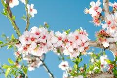 Bloeiende de kersenboom van de lente tegen blauwe hemel Stock Foto's
