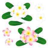 Witte en Roze die Plumeria, Frangipani op Witte Achtergrond wordt geïsoleerd Vector illustratie Stock Fotografie