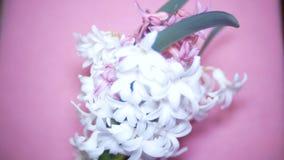 Witte en roze hyacinten op een gekleurde achtergrond 4k, stock videobeelden