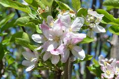 Witte en roze kalme appelbloemen royalty-vrije stock fotografie
