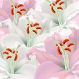 Witte en roze lelies Stock Foto's