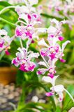 Witte en roze mooie dendrobiumorchidee stock foto