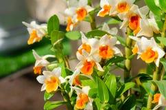 Witte en roze mooie dendrobiumorchidee stock afbeeldingen