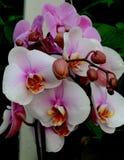 Witte en roze orchideeën stock afbeeldingen