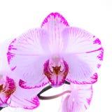 Witte en roze orchideeën op een tak Witte achtergrond Stock Fotografie