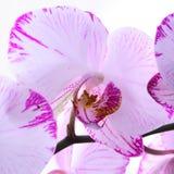 Witte en roze orchideeën op een tak Witte achtergrond Royalty-vrije Stock Fotografie