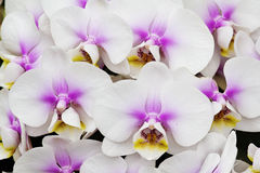 Witte en roze orchidee Stock Fotografie