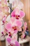 Witte en roze orchidee royalty-vrije stock foto