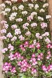 Witte en roze orchidee op muur royalty-vrije stock afbeelding