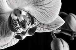 Witte en roze orchidee (Phalaenopsis) stock afbeeldingen
