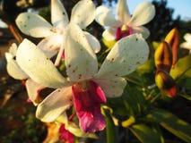 Witte en roze orchideebloemen Stock Afbeelding