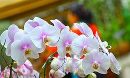 Witte en roze phalaenopsisorchideeën royalty-vrije stock foto