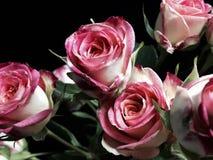 Witte en roze rozen stock foto