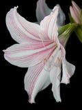 Witte en roze sterlelie Royalty-vrije Stock Afbeelding