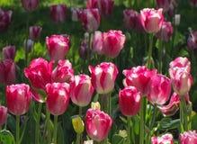 Witte en Roze Tulip Cluster stock afbeelding