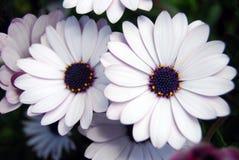 Witte en violette bloemen Royalty-vrije Stock Afbeeldingen