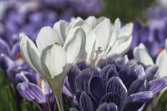 Witte en violette krokussen, smukken zij de de lentetuinen op stock foto's