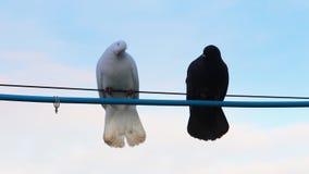Witte en zwarte duiven stock footage