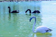 Witte en zwarte flamingo Stock Afbeelding