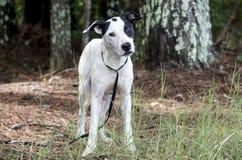Witte en zwarte flarden gemengde van het de hondhuisdier van de rassenstraathond de goedkeuringsfoto royalty-vrije stock fotografie