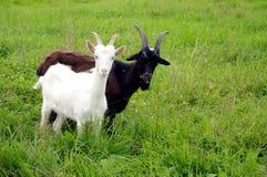 Witte en zwarte geiten Stock Foto